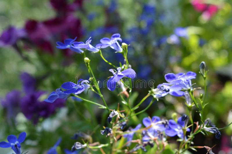 Blue flowers of lobelia on blurred background of petunias. Nature in summer. Balcony greening.  royalty free stock photo