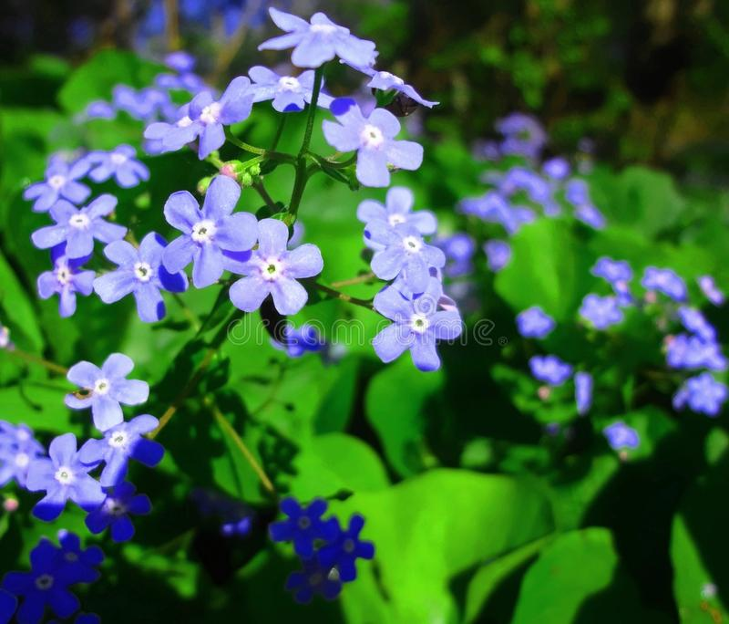 Blue flowers `Myosótis`. Blue flowers Myosótis on a green background of fresh foliage in a summer garden stock photography