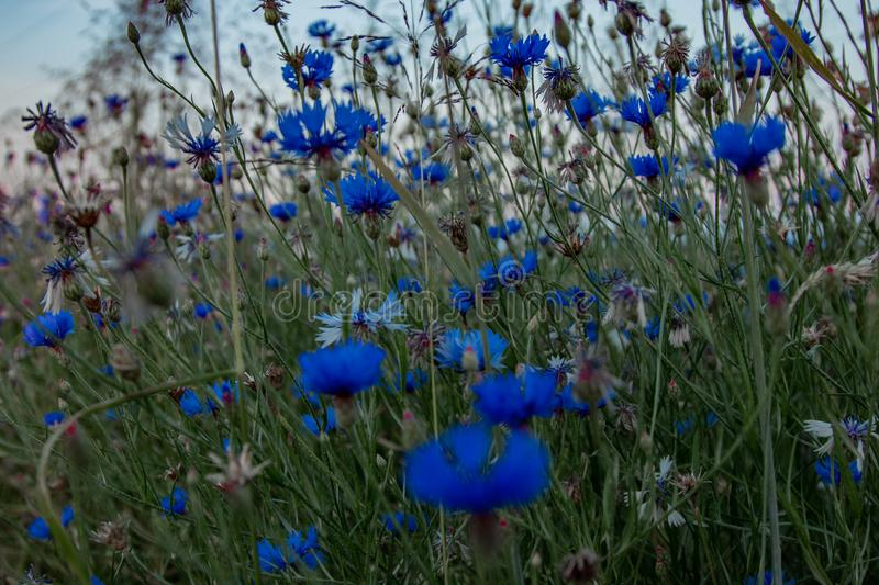 A blue flowers near field at sunset. stock images