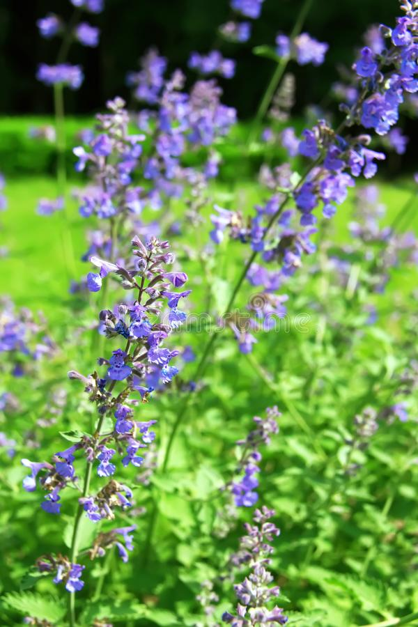 Blue flowers of Nepeta cataria catnip, catswort, catmint. Floral background stock photo
