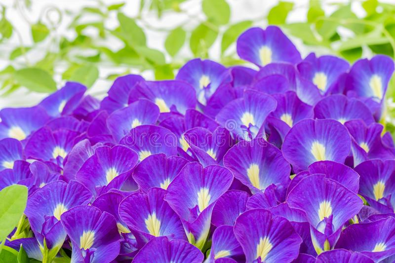 Blue flowers, pile of Butterfly pea. Blue flowers, pile of Butterfly pea - Clitoria ternatea L., in soft blurred style, with green leaves blurred background stock photo