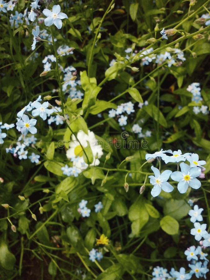 Blue flowers royalty free stock image