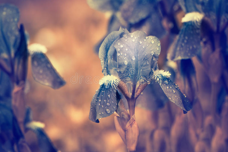 Download Blue flowers after rain stock image. Image of leafs, beauty - 24680519