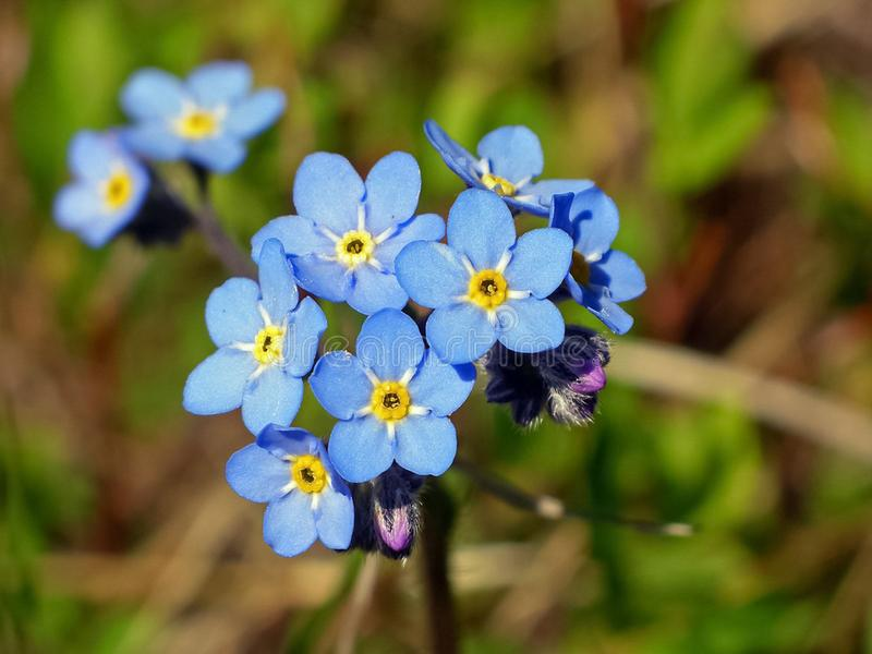 Blue flowers in the tundra.  stock photo