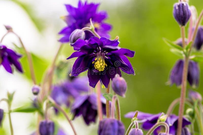 Blue flowers of the two-colored European columbin `Blue Barlow` Aquilegia vulgaris plena royalty free stock image