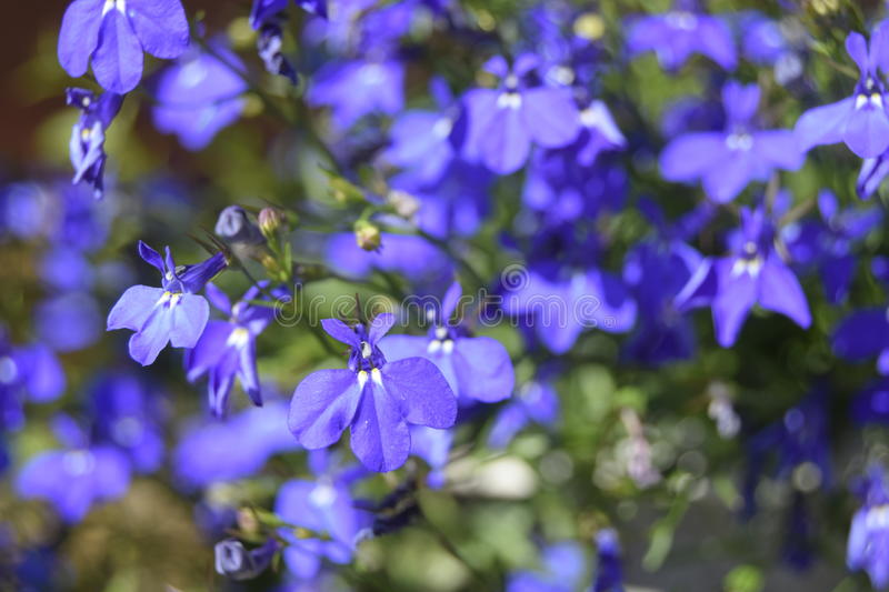 Blue flowers under the summer sun royalty free stock photography