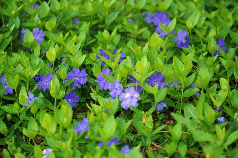 Blue flowers; vinca minor, periwinkle. Vinca minor myrtle creating carpet in shady place stock photos