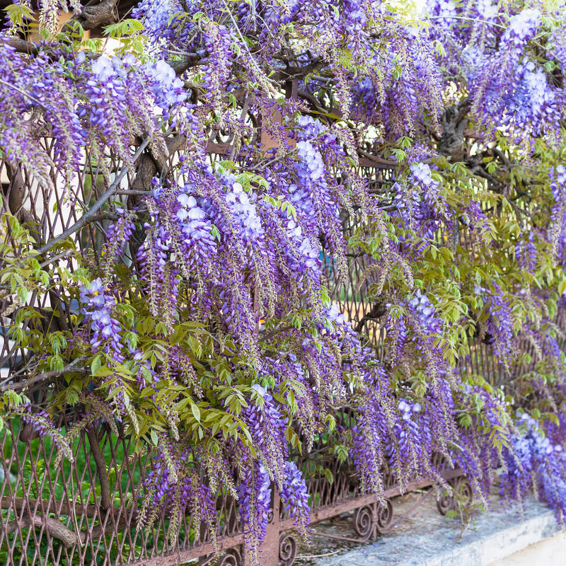 Blue flowers wisteria plant in garden in Mantua. Travel to Italy - blue flowers wisteria plant in urban garden in Mantua city in spring royalty free stock images