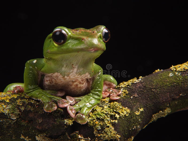 Blue Flying Frog stock photos