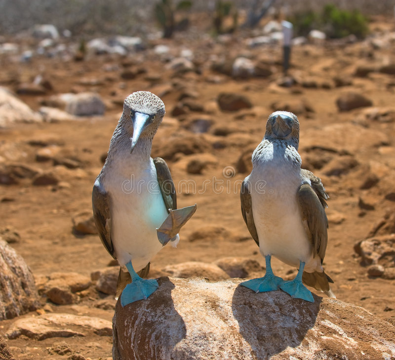 Free Blue-footed Boobies Royalty Free Stock Photography - 4721677