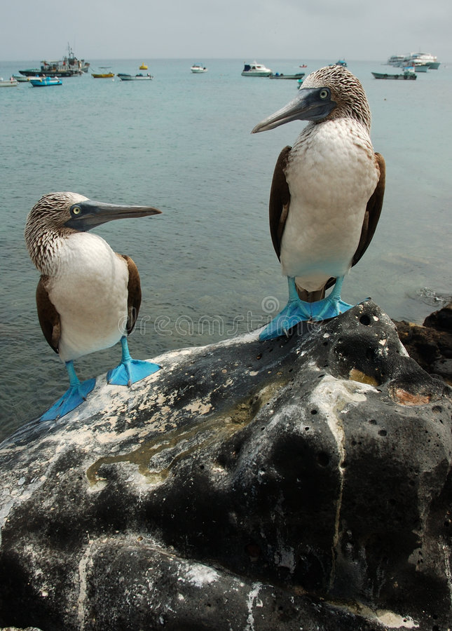 Download Blue Footed Boobies Stock Photo - Image: 475740