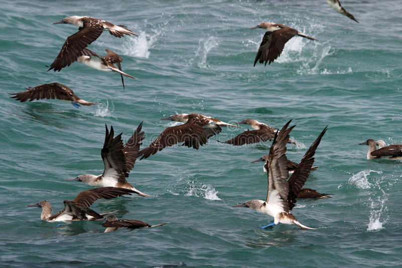 Blue footed boobies flying and fishing, Galapagos royalty free stock images