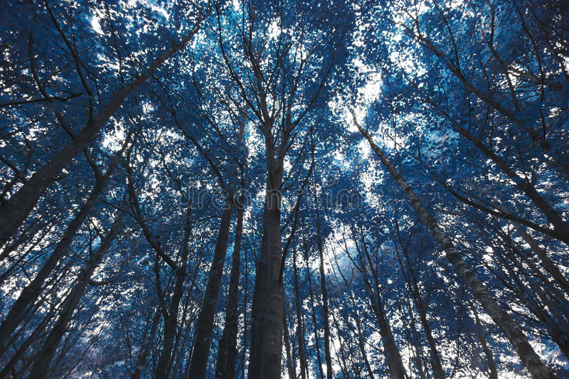 Blue forest trees royalty free stock photos