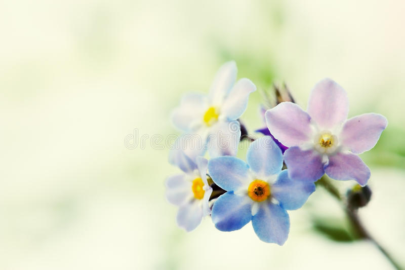 Blue forget me not flower stock photos
