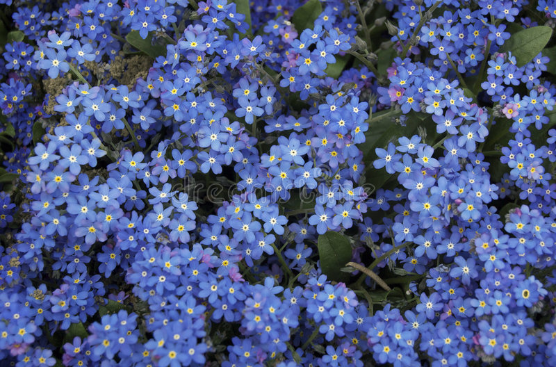 Blue forget me not flowers royalty free stock photo