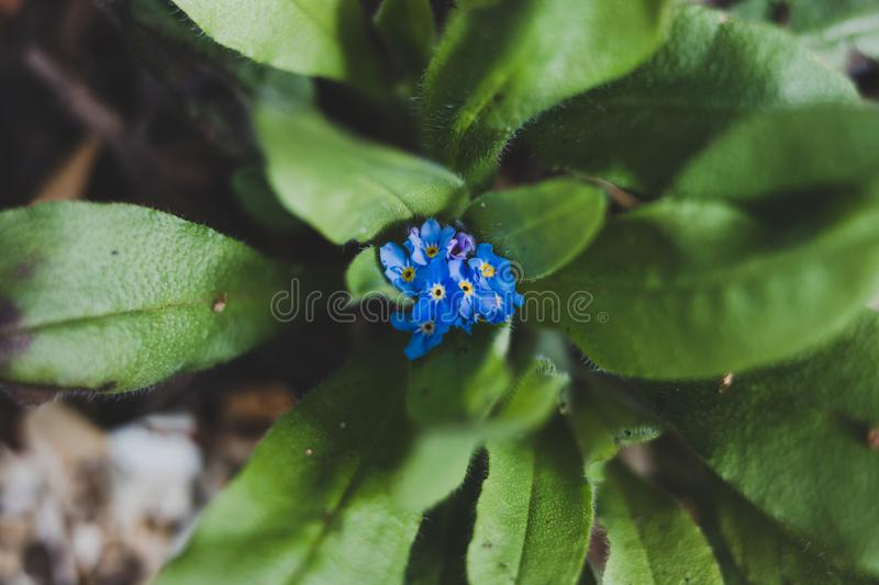 Blue forget me not plant with tiny flowers outdoor in sunny backyard. Shot at shallow depth of field royalty free stock photo