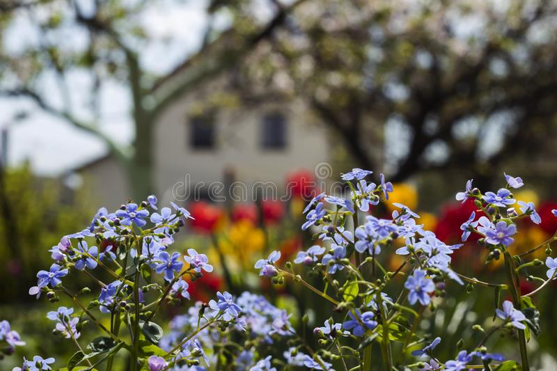 Blue forget-me-nots  Myosotis, Scorpion grasses on the background of bright tulips and houses, a beautiful background. Home. Landscape stock photos