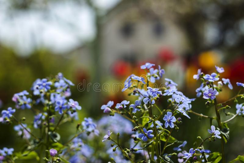 Blue forget-me-nots  Myosotis, Scorpion grasses on the background of bright tulips and houses, a beautiful background. Home. Landscape royalty free stock photos
