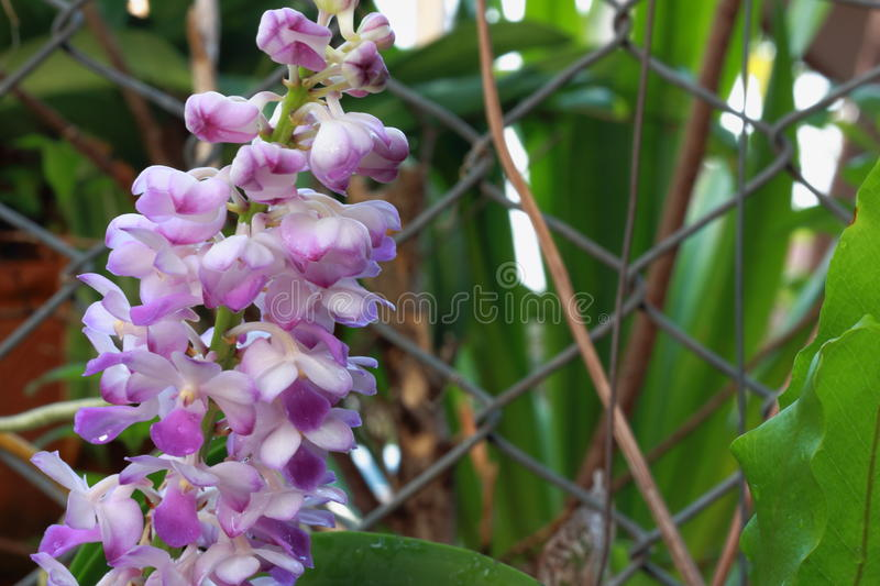 Blue foxtail orchid royalty free stock photos