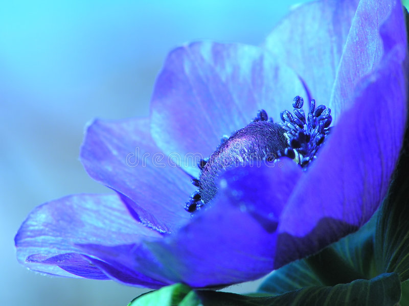 Blue French anemone stock images