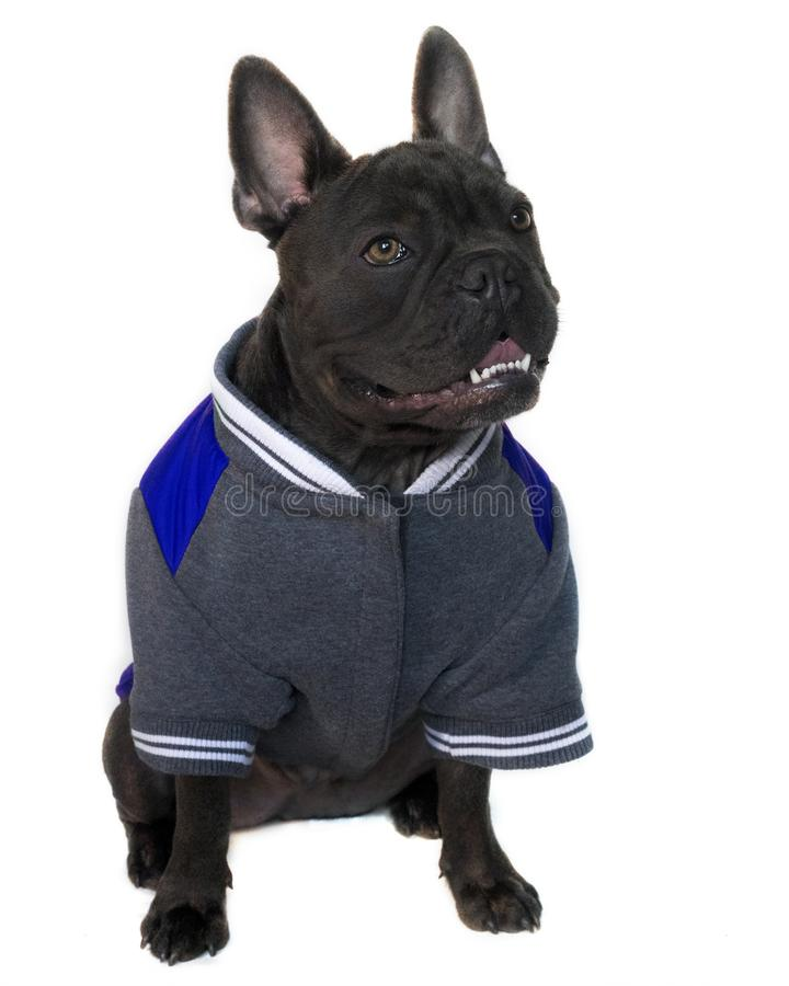 Blue French bulldog in college high school jackets,. Mascot type portrait, full body of a blue French bulldog dressed in college high school sports gear, on a stock image