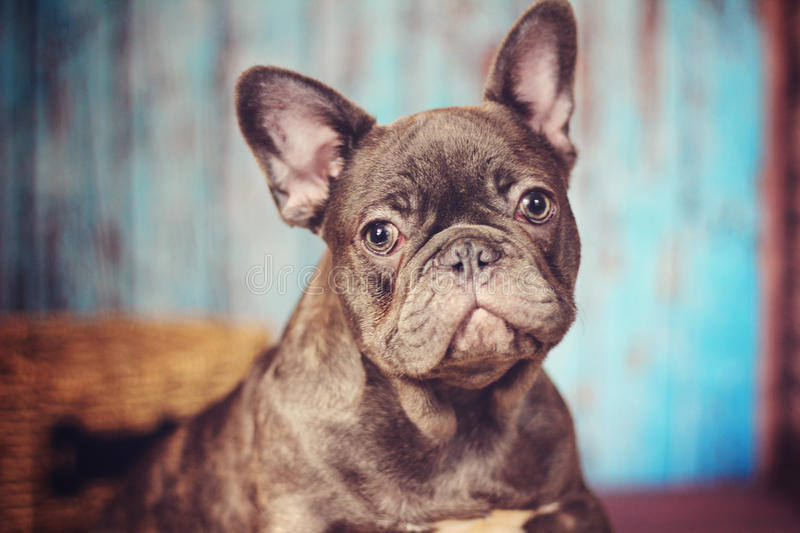 Blue french bulldog headshot royalty free stock photography
