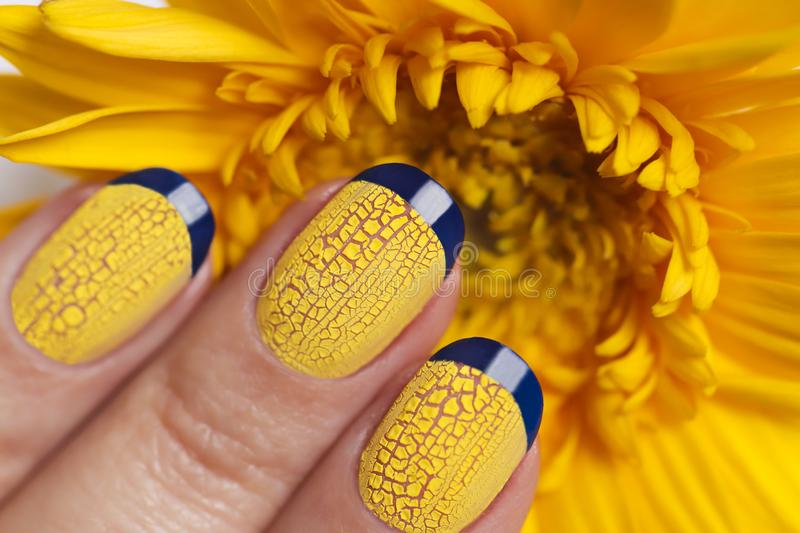 Blue French manicure with yellow craquelure nail Polish close-up. On flower background.Nail art stock image