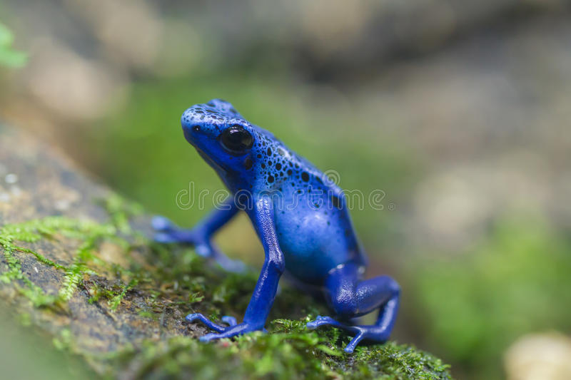 Blue frog. A mysterious poison blue frog royalty free stock image