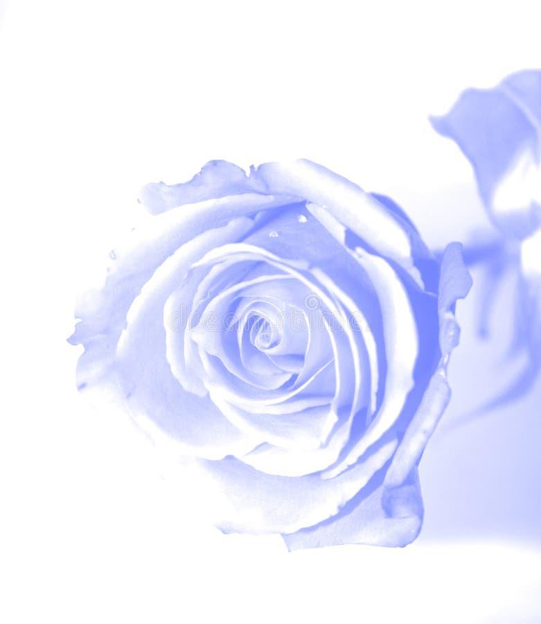 Blue gauzy rose royalty free stock image