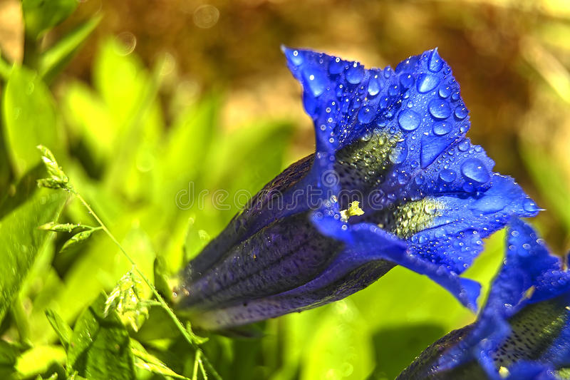 Blue gentian with dew drops stock photo