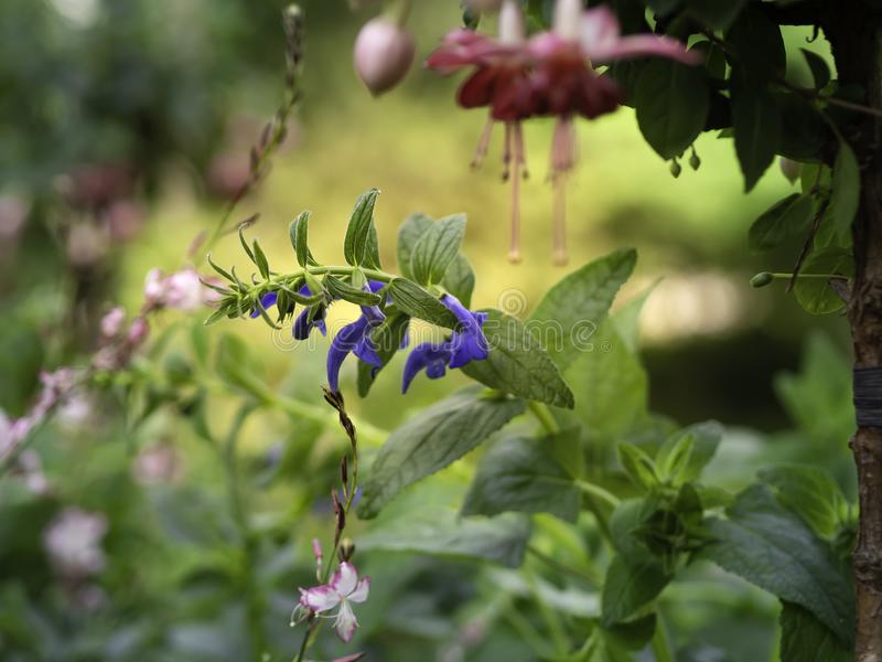 Blue Gentian sage growing at a flowerbed with fuchsia and gaura stock images