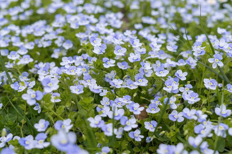 Blue Gilliflower flowers and other spring flowers in grass in garden. Slovakia royalty free stock photos