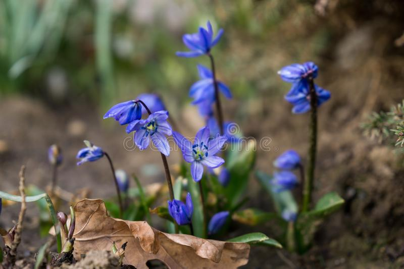 Blue Gilliflower flowers and other spring flowers in grass in garden. Slovakia royalty free stock photo