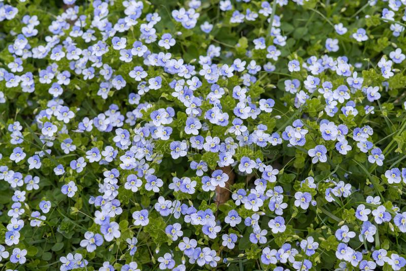 Blue Gilliflower flowers and other spring flowers in grass in garden. Slovakia stock photography