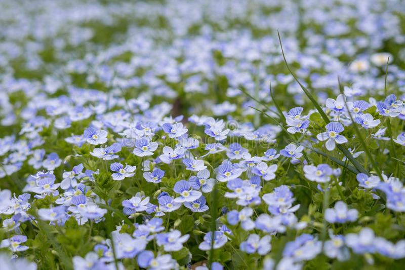 Blue Gilliflower flowers and other spring flowers in grass in garden. Slovakia stock image