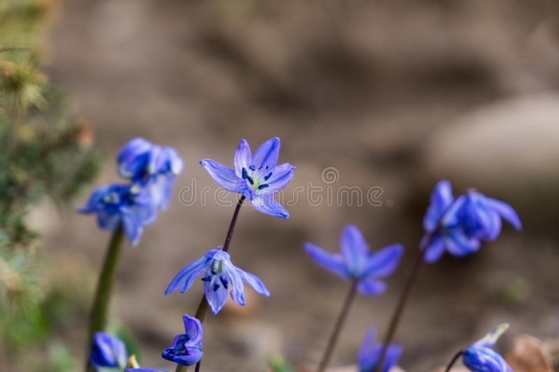 Blue Gilliflower flowers and other spring flowers in grass in garden. Slovakia stock photos