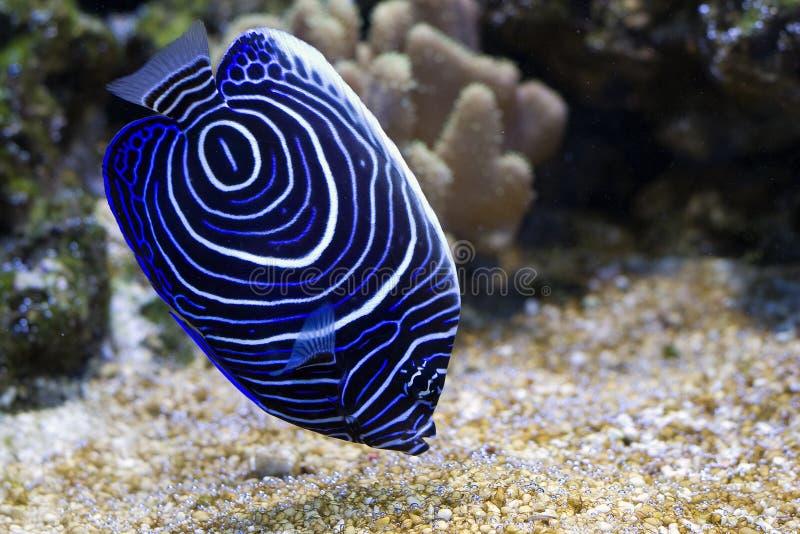 Blue girdled angel royalty free stock photo
