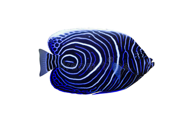 Download Blue girdled angel stock photo. Image of background, aquatic - 25185358