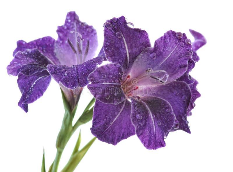 Blue gladiolus stock image