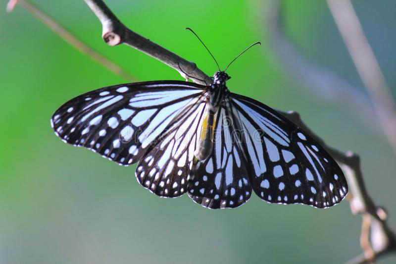 Blue Glassy Tiger Butterfly stock photo