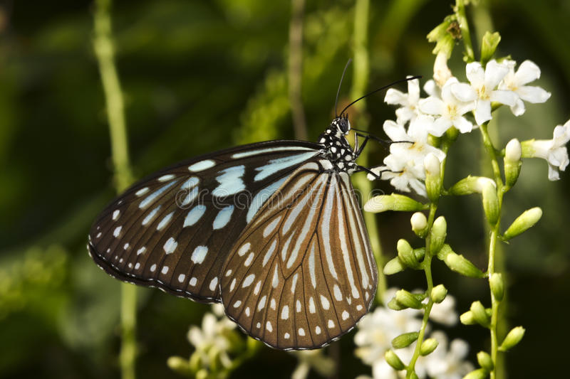 Blue glassy tiger Ideopsis similis butterfly. Feed on the flower stock image