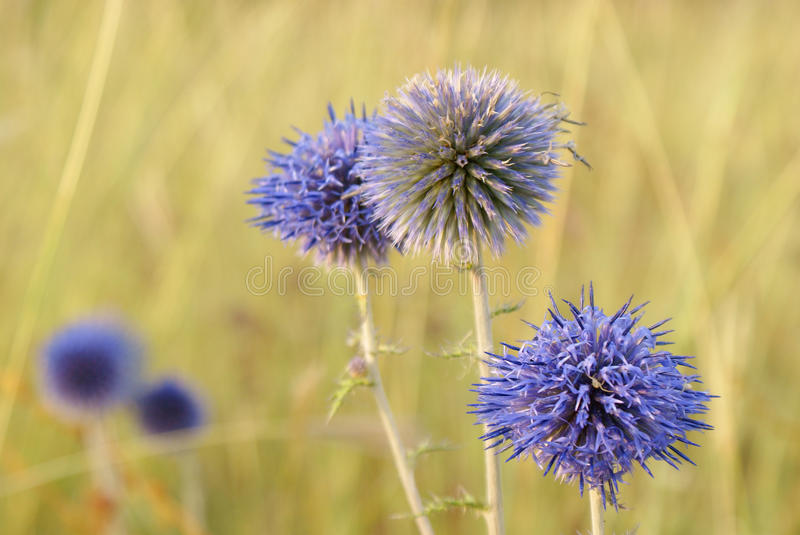 Blue globular flowers of echinops on yellow background in wild royalty free stock images