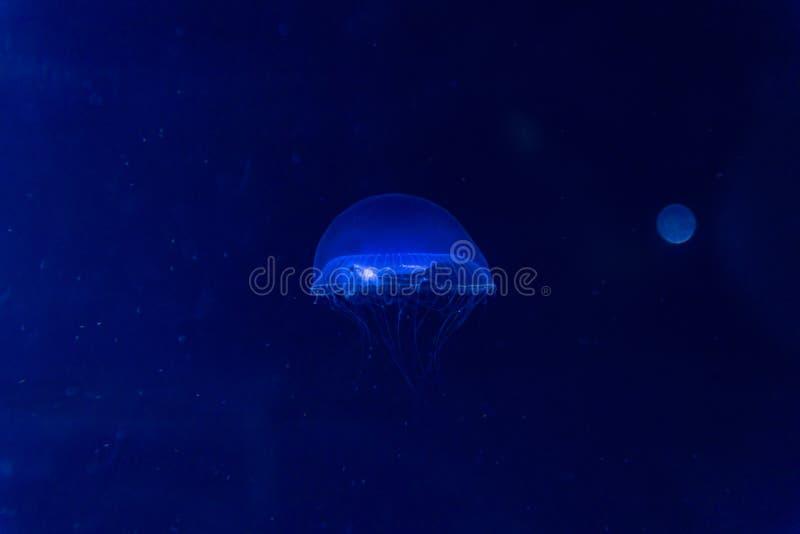 Blue glowing jellyfish swim to light royalty free stock photography