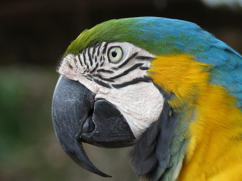 Blue and green macaw portrait. Blue and gold also blue and green macaw close up of head image stock images