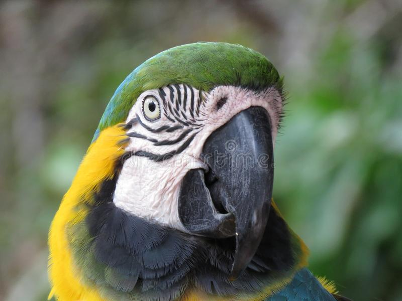 Blue and green macaw portrait. Blue and gold also blue and green macaw close up of head image royalty free stock photography