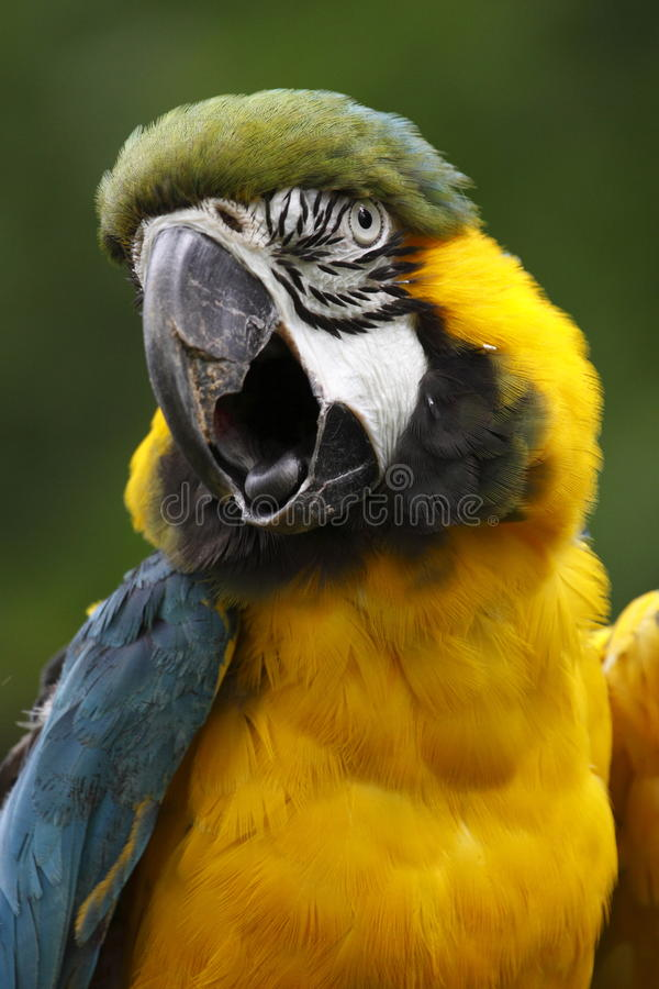 Blue-and-gold macaw royalty free stock image
