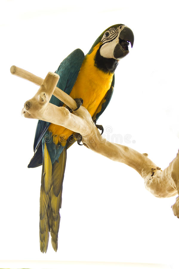 Blue and gold macaw. On a stand, isloted on a white background stock photos