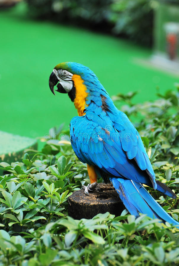 Blue And Gold Macaw. A photo taken on a blue and gold macaw at a bird show royalty free stock photo