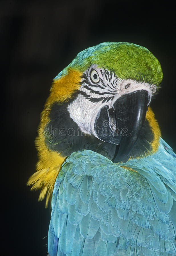 Blue and gold macaw stock images