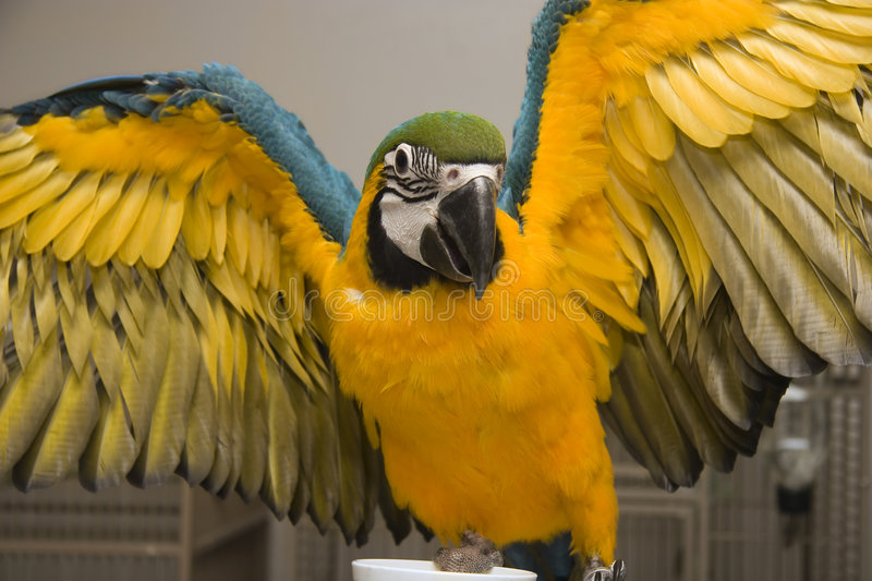 Blue & Gold Macaw. With his wings spread out stock photo